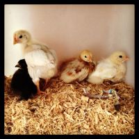 iPhone moment - Here a chick, there a chick by BrendanR85