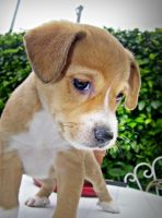 sweet puppy by Laysa