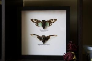 Cicada Frame by TheButterflyBabe