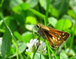 Backlit Skipper by Synari