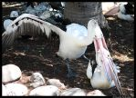 Pelican eat Pelican by TVD-Photography