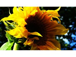 . garden SunFlower yellowtype by trocker