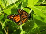 Monarch Butterfly by TimeKiller357