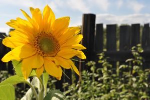 Sunflower by Tumana-stock