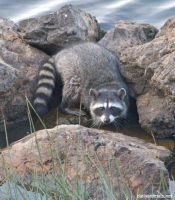 Raccoon on the rocks by jaffa-tamarin