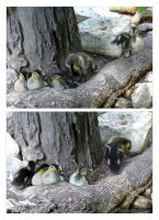 Zoo - Ducklings 01 by phantompanther