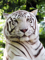 White Tiger by Elvira1990