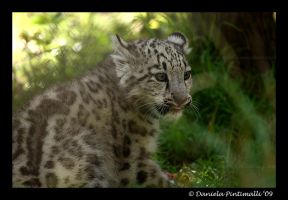 Baby Snow Leopard XI by TVD-Photography