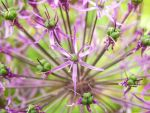Allium by WestMauE