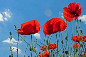 14-06 Poppies #4 by evionn