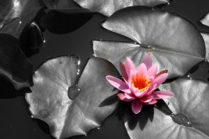 Water Lily by lOsErJ