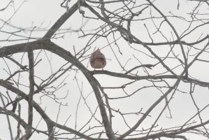 Cardinal Casing the Branches 5 by Miss-Tbones