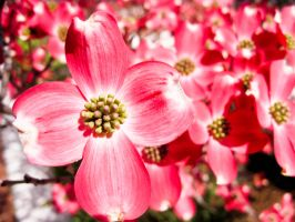 Dogwood Blooms by Autumn-May