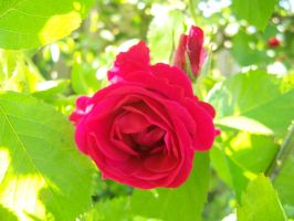 Rose 1 by evanna11