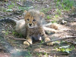 Cheetah cub by Tigerlover4