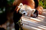 Red Panda V by deseonocturno