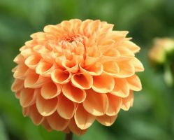 perfect dahlia 2 by ingeline-art