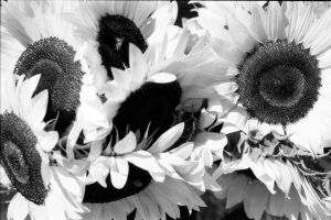 Sunflowers by Bigclownshoes