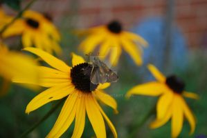 Butterfly on Blackeyed Susan 1 by Chalax91