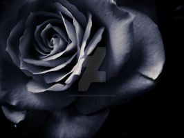 Dark rose by keep-smiling-lila