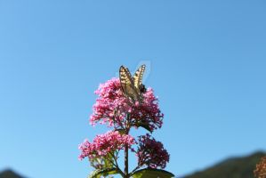 Butterfly on pink flowers 2 by Giuliettadolce