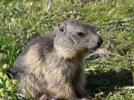 Marmotte by Simonmarky