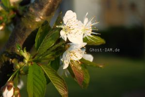 Cherry Tree in flower by Ghost-DAM
