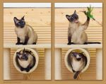 We are siamese if you please by hoschie