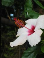 Hibiscus in Pink by solnascens