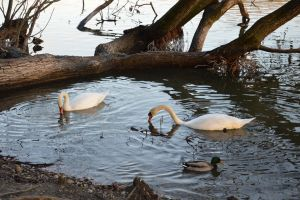 swans and duck by A1Z2E3R