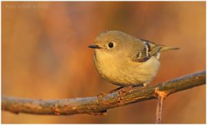 Ruby-crowned Kinglet by Ryser915