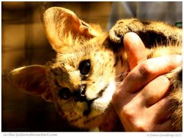 Snuggly Serval by In-the-picture