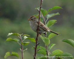 Young White-crowned Sparrow Sentry by vanwaglajam