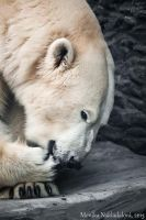 Polar Bear by amrodel