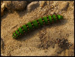 green caterpillar by tzimmer