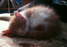 Sleeping Kitty by empatia-stock
