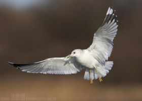 Common Gull by Albi748