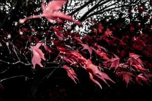 Red Maple Leaves by db-photoblogDOTcom