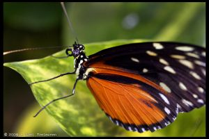 Tiger Longwing Butterfly 3 by Vamppy