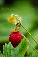 wild strawberry by cherryXO