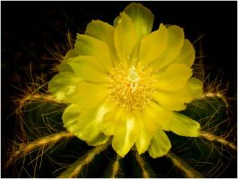 Yellow Cactus Flower by THOM-B-FOTO