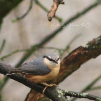 Nuthatch. by MauiMelle