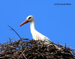 Stork 5 by bluesgrass