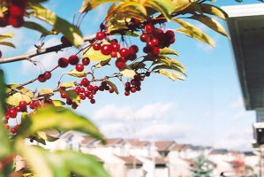 Cherry branch by atron