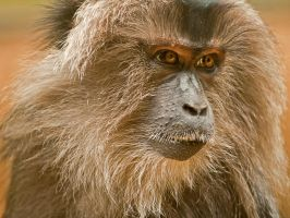 Stare - Lion Tailed Macaque by MichelLalonde