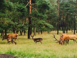 Just some deers (Veluwe, The Netherlands) by LittleHorrorFreak