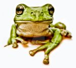 Green Frog by GreenFrog-Designs