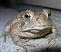 Fowler's Toad by Serendith