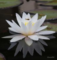 Water Lily 7 by Dream998