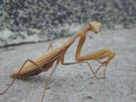 Praying Mantis by Ventrue533